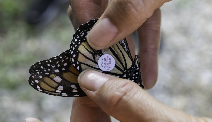 Tagging a Monarch Butterfly at Weldon Spring Site's annual Monarch Madness Event