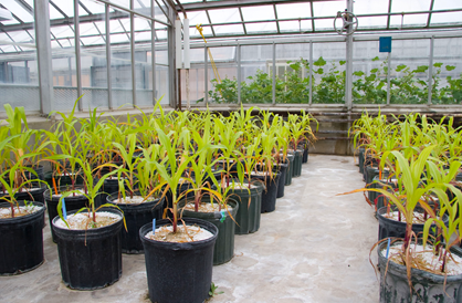 To improve the sustainability of crops and other agricultural material used for energy production, researchers are studying the associations of crop roots with fungi to improve the uptake of nutrients from the soil.