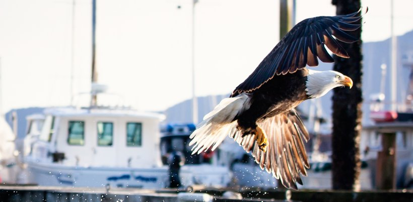 A bald eagle in flight against the backdrop of docked boats.