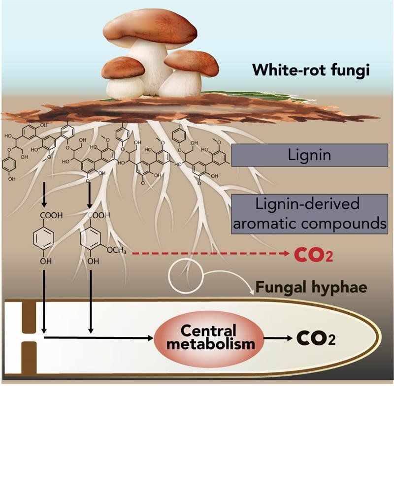 White-rot fungi break down lignin and convert it into carbon dioxide and water. A new study reveals that these fungi incorporate lignin-breakdown products into their central metabolism.