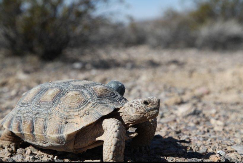 Desert tortoise at the NNSS