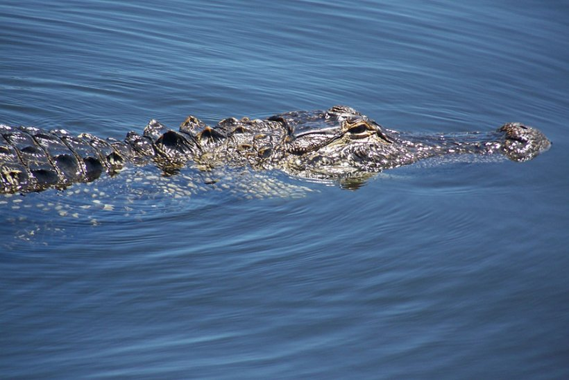 Pinellas, Florida, alligator.