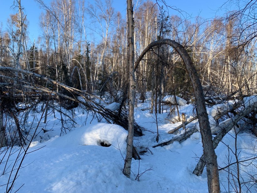 A tree in a snowy forest bends over toward the ground.