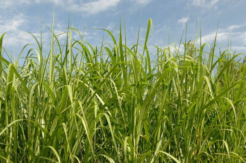 Miscanthus, a high-yield perennial biofuel crop, is a promising alternative to traditional annual biofuel crops.