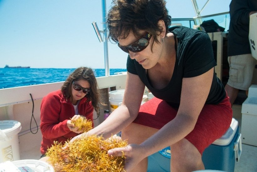 Dubbs and her student collect sargassum, a widespread brown algae about which little is known, off the North Carolina coast.