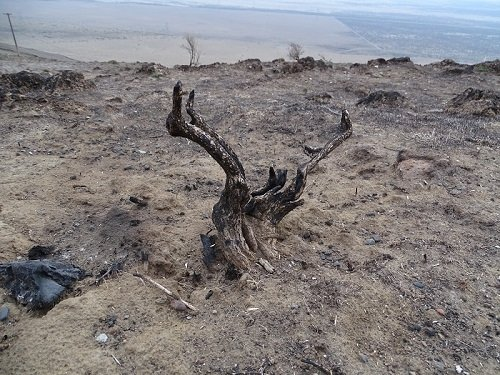 Native shrubs are returning to the Gable Mountain area following an extensive remediation process that included aerial reseeding.
