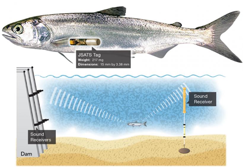 The original Juvenile Salmon Acoustic Telemetry System tag.
