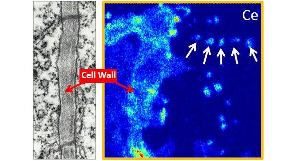 Uptake of cerium dioxide nanoparticles through plant cell walls.