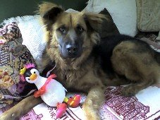 Photo of a dog sitting on a bed or couch with a stuffed toy in front of it.