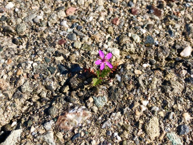 """Flower in the Gravel"" by Teresa Zieminski-Myers"