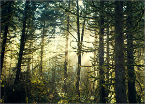 A grove of evergreen trees with sunlight shining through them.
