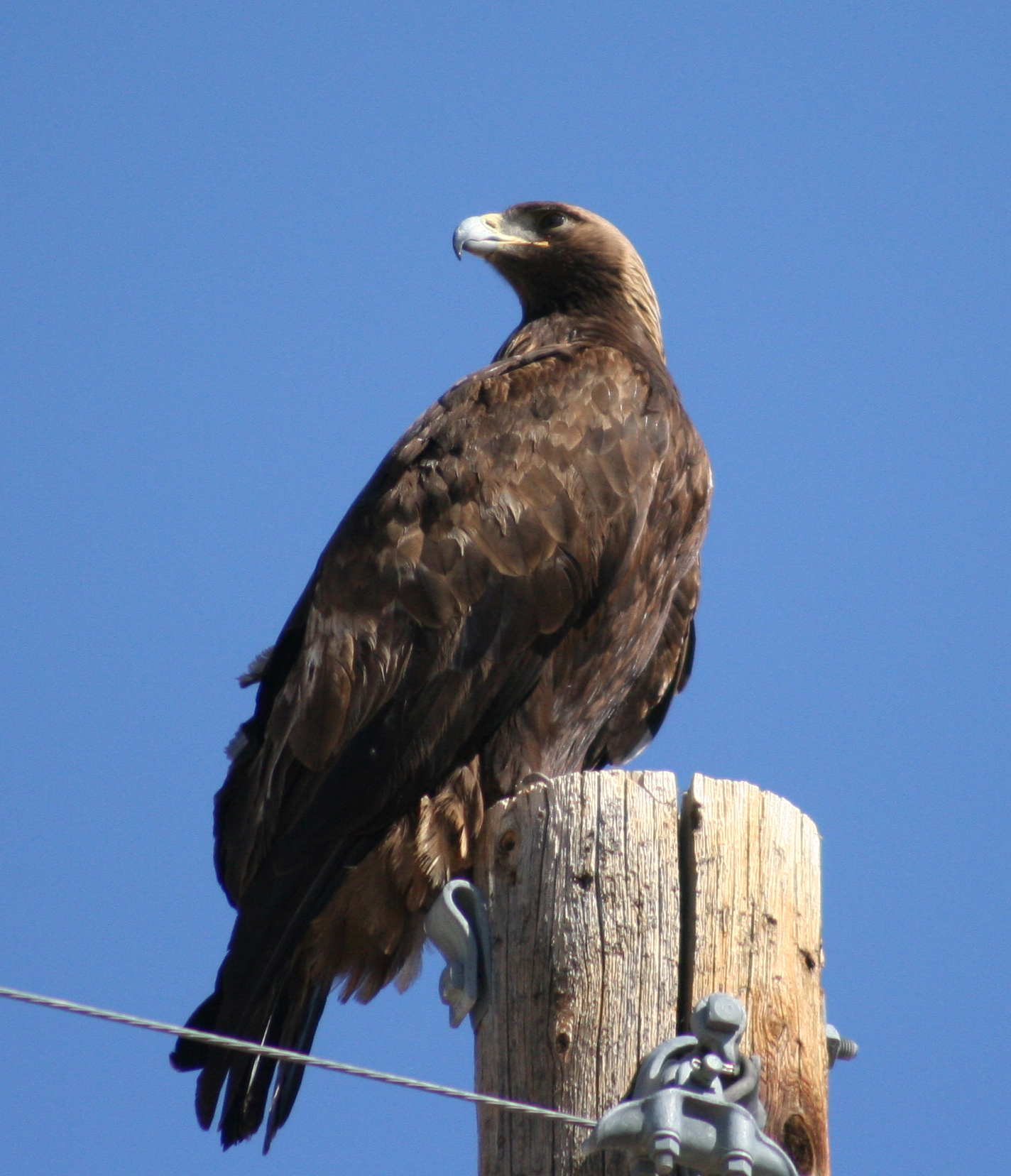 one of the site's golden eagles.