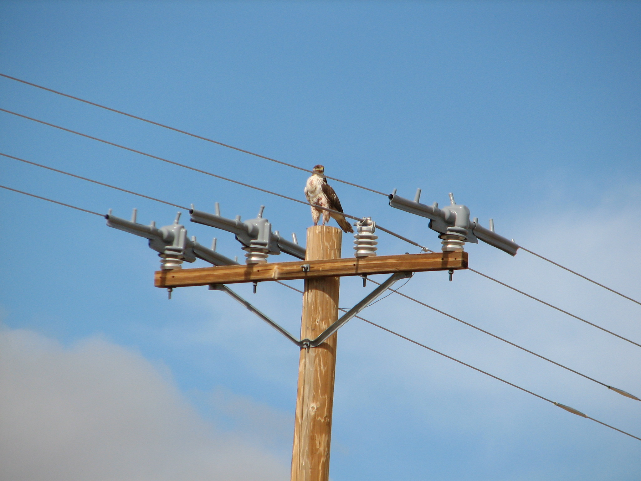 NNSS biologists and engineers are in the process of retrofitting power poles around the site to protect wildlife. The retrofit is designed to reduce the risk of electrocution to birds like this red-tailed hawk.