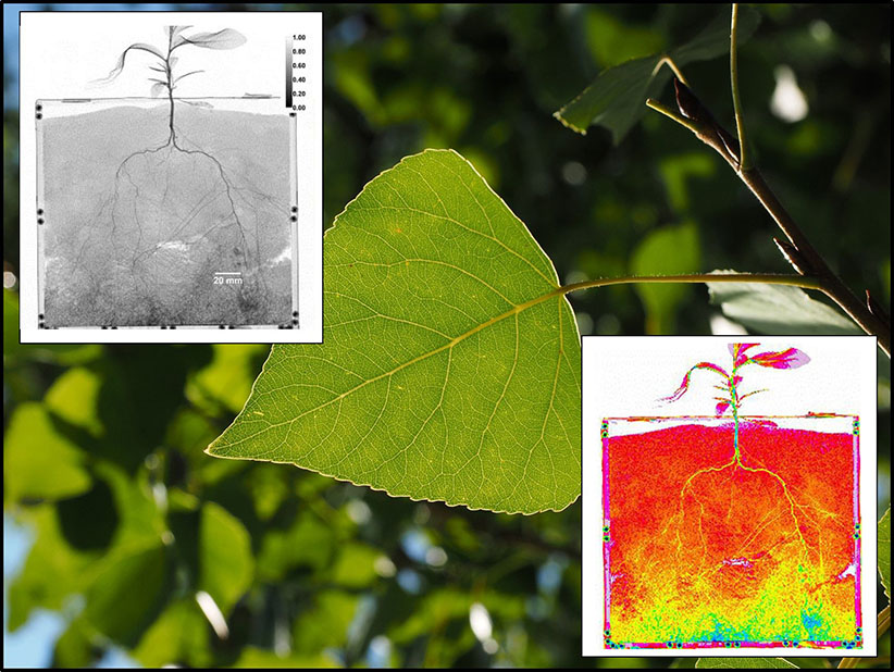 Get to the Root: Tiny Poplar Roots Extract More Water than Their Larger Counterparts after Drought