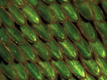 "What do butterflies and solar cell research have in common? Both have been developing tiny crystals that selectively reflect colors. Over millions of years of evolution, butterfly wings have developed the tiny crystal nanostructures that give butterflies their vivid colors. At Argonne National Laboratory, scientists are working to manufacture these crystals, which could one day be used to create ""greener"" and more efficient paints, fiber optics and solar cells. In this photo, the iridescent scales of an emerald-patched Cattleheart butterfly are magnified 20 times to highlight the crystals that selectively reflect green colors. 