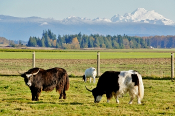 Cows like these in Skagit County, Washington, supply the biodigester developed by Kevin Maas of Farm Power up to 70,000 gallons of manure per day. The newest Farm Power facility in Washington generates enough electricity to power 500 homes. Photo courtesy of sea_turtle.