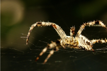 """Argonne Lab researchers used the Advanced Photon Source to look at the structure of spider's dragline silk, which allows arachnids to swing from branches and dangle from window frames, the Spiderman equivalent of swinging from high buildings and dangling from Gotham's towers.   Creative Commons photo by Flickr user <a href=""""http://www.flickr.com/photos/dumbo/"""">Djumbo</a>."""