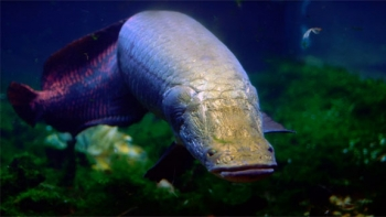 Arapaima gigas is an air-breathing fresh water fish in the Amazon Basin that swims with impunity through piranha-infested waters.   Photo courtesy of Jeff Kubina, National Geographic.