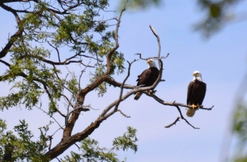 Two adult bald eagles sit atop a tree on the Hanford site near the Columbia River. Hanford biologists recently counted 60 eagles on the site, the most ever at Hanford at one time.