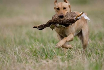 A yellow Labrador retriever carries a duck as he races to the finish line.