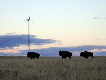 Bison standing in front of a 10 kW wind turbine manufactured by Bergey Windpower Company. | Photo by Northwest Seed, NREL.