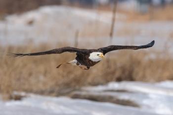 Spirit, a 20-year-old bald eagle, flies at the National Wind Technology Center in Boulder, Colorado. | <em>Photo by Lee Jay Fingersh/NREL</em>