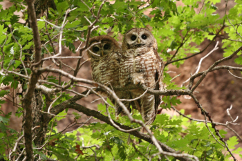 The current site-wide approach for long-term protection of LANL's threatened and endangered species originated from the 1995 discovery of a nesting pair of Mexican spotted owls near a proposed explosives testing facility. (See LLQR, June 1999, page 1.) (Photo: Chuck Hathcock, Wildlife Biologist, LANL Environmental Protection Division)