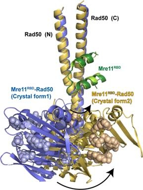 Two structures of the Mre11-Rad50 complex were solved independently and overlaid, further revealing a flexible hinge in Rad50 near the Mre11 binding site | Courtesy of Lawrence Berkeley National Laboratory