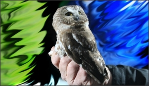A Northern Saw-Whet Owl is captured for banding during the banding demonstration 