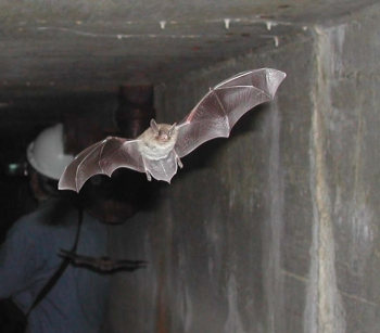 A Yuma bat flying inside the clearwell at 100-F Area. | Photo courtesy of the Office of Environmental Management.