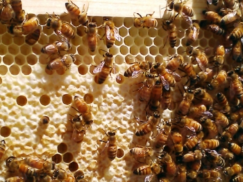 The caped comb shows that the queen bee has laid eggs in the hives.