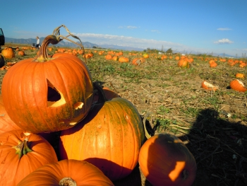A pumpkin field. | Image courtesy of Jessica Bold, Creative Commons.