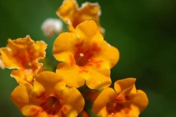 Fiddleneck flower