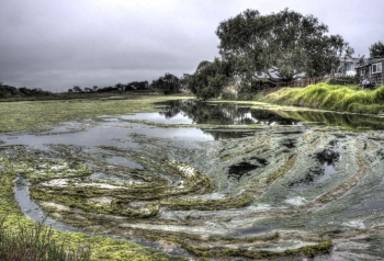 Natural algae ponds are currently complicated to harvest for commercial-scale fuel production.