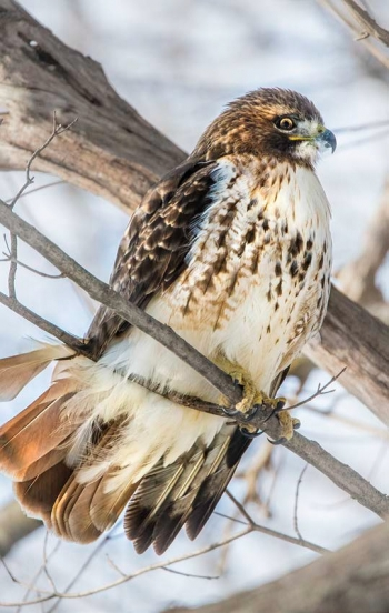 A hawk sitting on a branch.