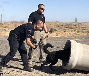 A canine searches for a suspect during criminal apprehension training.