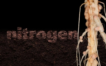 Root nodules, which allow some bacteria to fix nitrogen into soils for greater plant productivity, have a surprisingly complex metabolism, which could be optimized to develop more sustainable agriculture.
