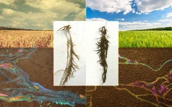 Foreground: microbial community under dry conditions (left) and microbial community under irrigated conditions (right).