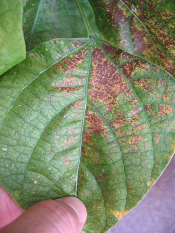 Ozone damage starts as stipple, which are dark pinpoint spots, visible on the left side of this snap bean leaf. The more extensive yellow-ringed brown patches on the top and right side of this leaf are evidence of severe ozone damage.