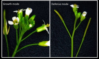 Studies of a modified small flowering plant show that plants defending themselves against insect attack grow more slowly & produce fewer flowers (right). When not defending themselves, plants grow faster & produce more flowers (left)—and ultimately seeds.