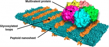 A molecular model of the team's designer nanosheet shows loop structures of sugars that bind to the Shiga toxin, which causes dysentery. Artificial peptides, named peptoids by the inventing team, assemble themselves into ordered nanosheets.