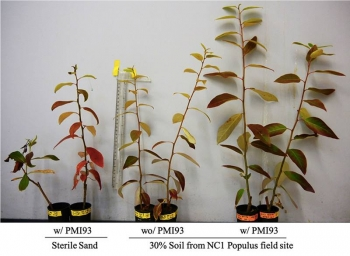 Poplar cuttings inoculated with M. elongata strain PM193 (far right) grow larger in 30 percent forest soil / 70 percent sand than without PM193 (middle). On the left are controls grown in sterile sand. (Chih-Ming Hsu).