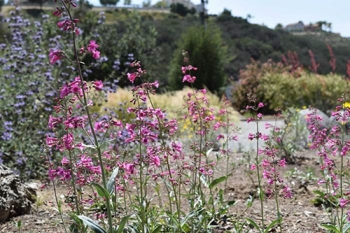 The DOE GreenBuy Award Program honored EM's Moab Uranium Mill Tailings Remedial Action Project for sustainable purchases such as Parry's Penstemon, a native, drought tolerant flower that reduces water consumption.