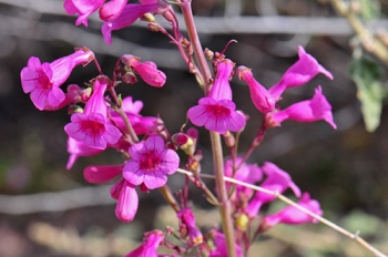 A close-up view of the water-efficient Parry's Penstemon flowers planted by EM's Moab Uranium Mill Tailings Remedial Action Project.
