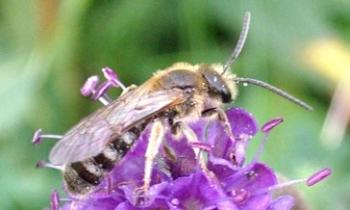 A sweat bee keeps busy.
