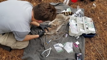 Patrick Ryan, a technician at Savannah River Ecology Laboratory, collects biological samples from a sedated raccoon.