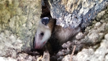 A female Virginia opossum shelters in a tree stump at the Savannah River Site.