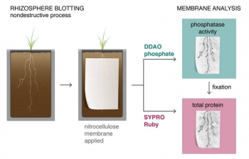 A new root blotting technique captures a biochemical imprint of plant roots growing in flat slabs. Scientists examine the imprints with fluorescent indicators to visualize the distribution and activity of phosphate-mobilizing enzymes around the roots.