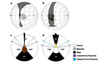Figure showing the visual field configurations of the golden eagle and bald eagle.