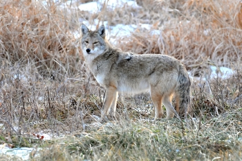 Coyote Not-So-Ugly